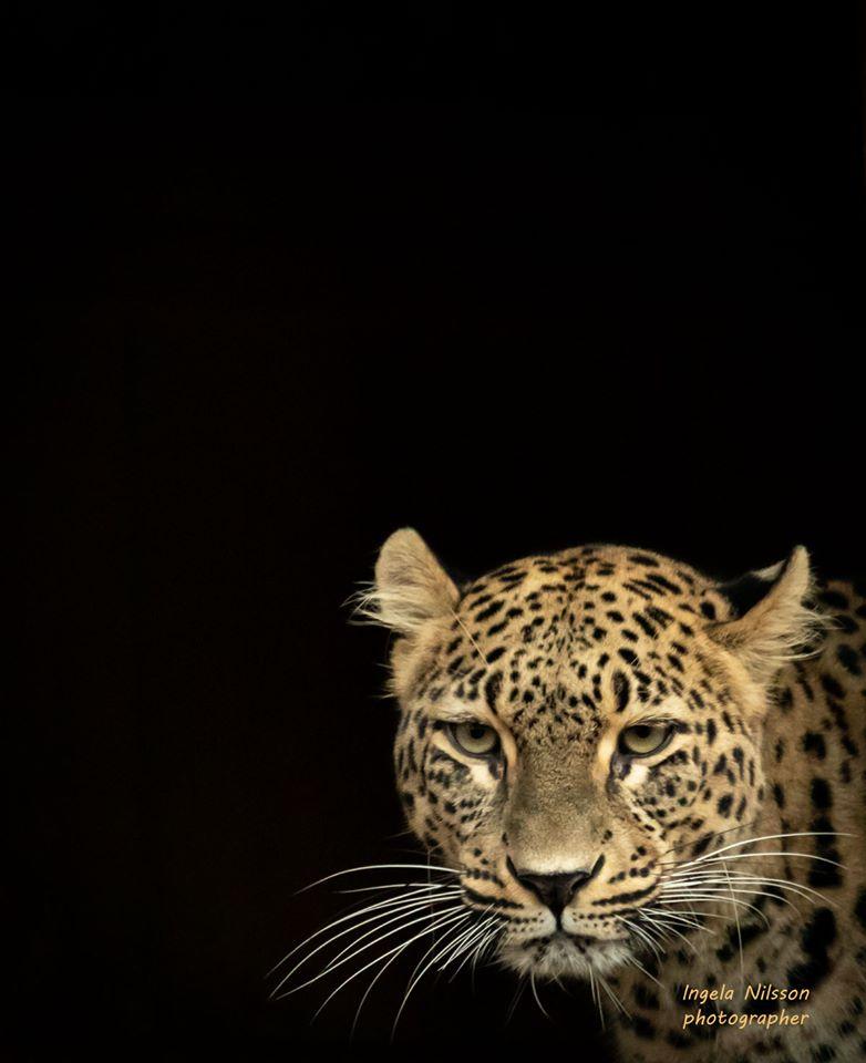 Persisk leopard, Nordens Ark