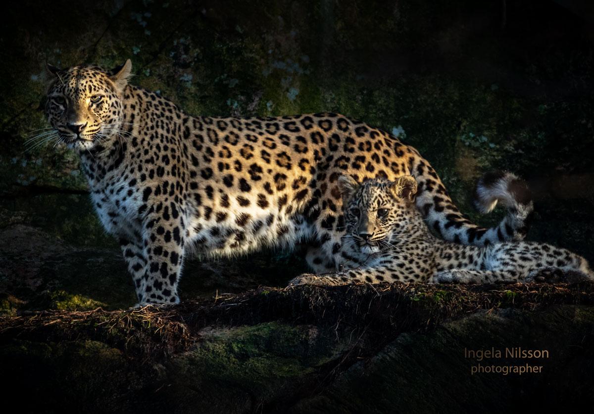 Persisk leopardhona tillsammans med sin unge