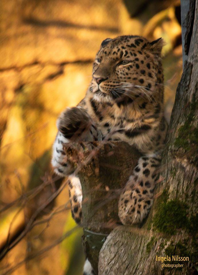 Amurleopard p å Nordens Ark