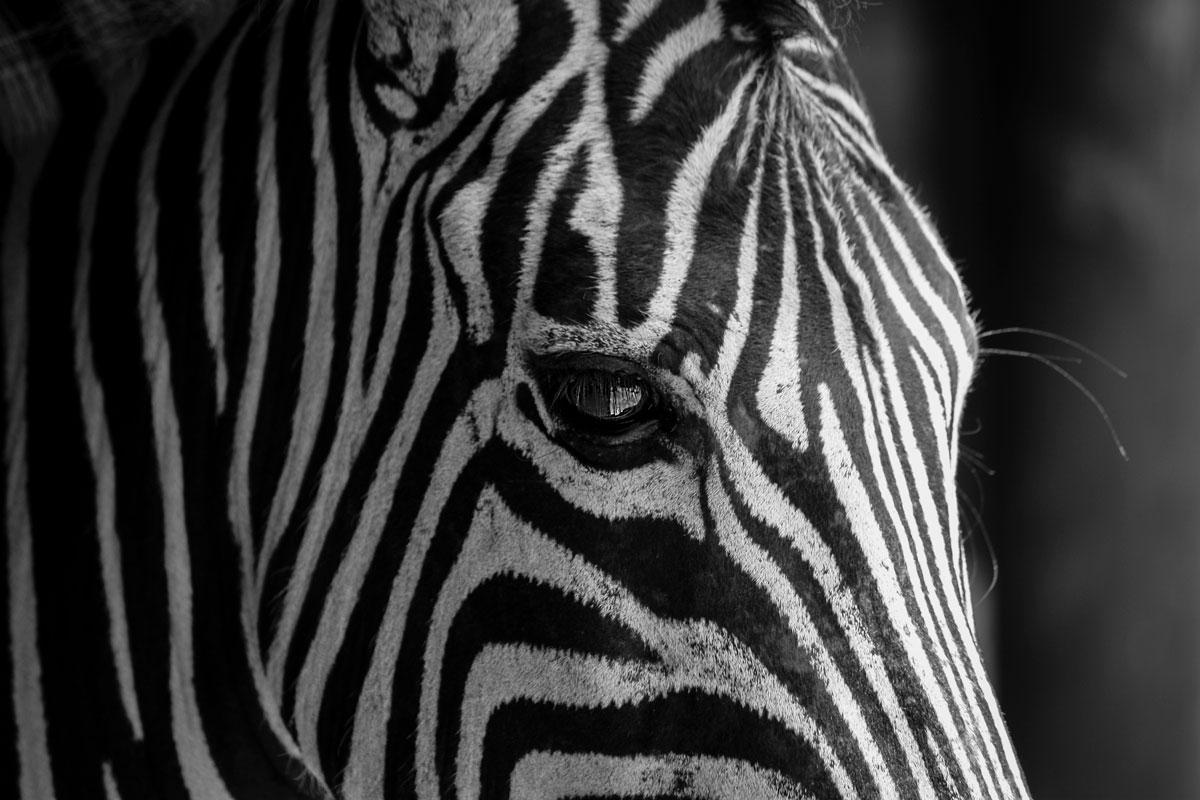 Zebra Sydafrika
